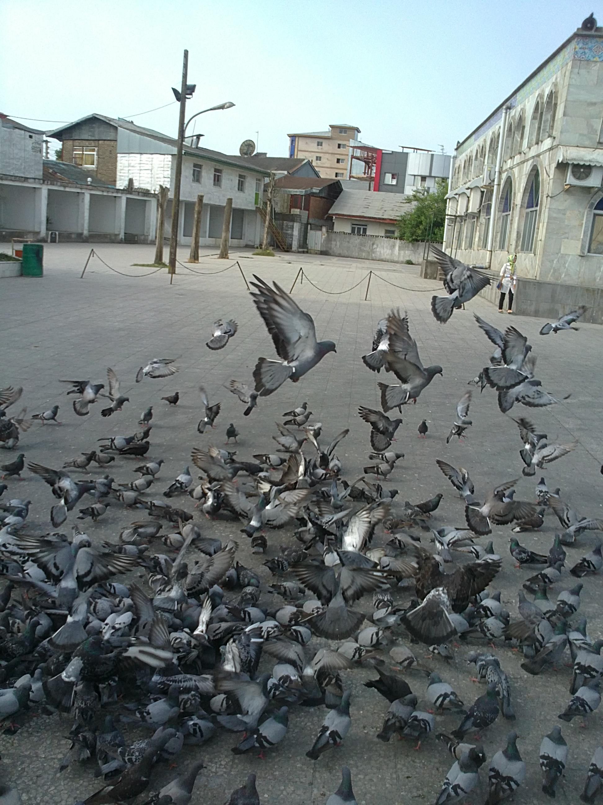 خمام - کبوترهای مسجد جامع خمام