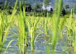 خمام - نشا دوبارهی برنج قبل از پایان برداشت