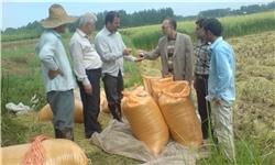 خمام - برداشت مکانیزهی برنج در 5 هزار هکتار از شالیزارهای خمام