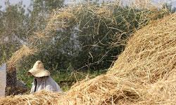 خمام - نرخ تبدیل کارخانههای شالیکوبی گیلان اعلام شد