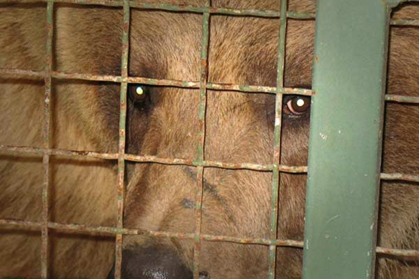 خمام - اسارت خرس در قفس یکمتری