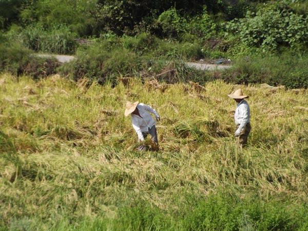 خمام - به روایت تصویر: برداشت محصول