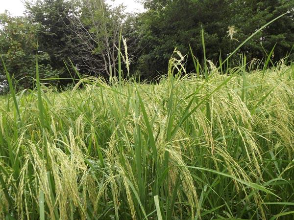 خسارت به کشاورزان در پی بارش گستردهی باران در روزهای اخیر