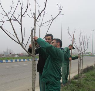 کاشت 500 نهال درخت چنار و اقاقیا در خمام بهمناسب گرامیداشت روز درختکاری