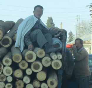 حمل اجساد درختان در آستانهی نوروز