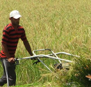 آغاز برداشت مکانیزهی برنج در بخش خمام