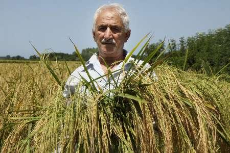 خواهان ثبت معنوی «برنج هاشمی» هستم