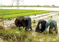 خمام - شالیکاران آب تخت کردن مزارع را آغاز کنند