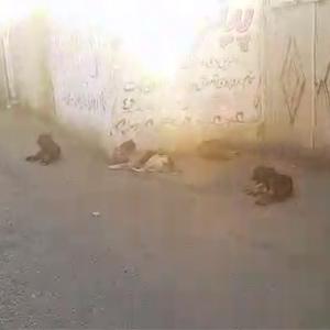 خمام - تجمع سگهای ولگرد در خیابان فرهنگ