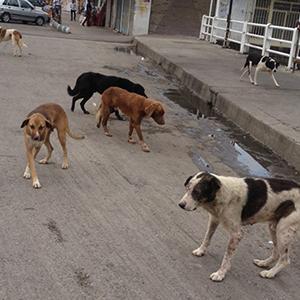 فکری به حال سگهای ولگرد کنید! / از ایجاد دلهره تا برهم زدن آرامش شهروندان …