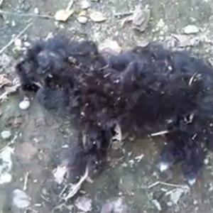 خمام - وضعیت نگران کننده حیوانات در روستای زیرده!