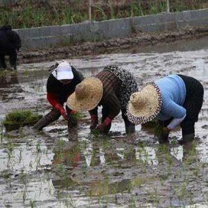 خمام - اولین نشا برنج در بخش خمام آغاز شد