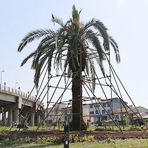 خمام - جابجایی و کاشت مجدد درخت فونیکس در فضای سبز پل غیرهمسطح