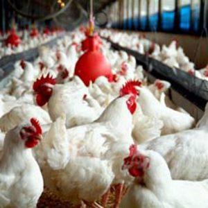 خمام - یک مرغداری در خمام تعطیل و فرد متخلف به ۴ ماه حبس محکوم شد