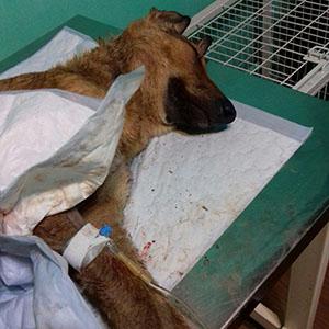 خمام - نجات سگ حادثه دیده توسط حامیان حیوانات