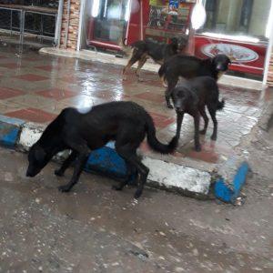 خمام - زندهگیری و ساماندهی سگها در دستور کار قرار گرفت