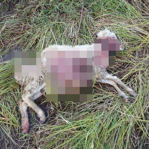 خمام - سگهای ولگرد عامل کشتار گوسفندان در جیرسر چوکام نبودهاند