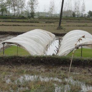 خمام - آغاز نخستین خزانهگیری برنج در سال زراعی جدید