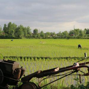 خمام - واردات بیرویه برنج به کشاورزان لطمه میزند / رهاسازی آب در زمان مناسب صورت نپذیرفت / با تغییر کاربری اراضی مخالفت میشود