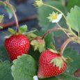 ۵۰ هزار بوتهی توت فرنگی کاشتهایم / فروش بوته سود بیشتری دارد / مسئولان حمایت کنند