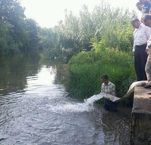 خمام - ۴ میلیون قطعه بچه ماهی سفید در رودخانههای خمام، خشکبیجار و لشتنشاء رهاسازی شد
