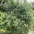 رشد بوته ۳ متری گوجه فرنگی در کلاچاه دوم