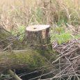 تبر تیز سودجویان قاچاق چوب بر تن درختان