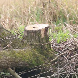 خمام - تبر تیز سودجویان قاچاق چوب بر تن درختان