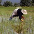 بیشاز ۹۵ درصد مزارع خمام وجین شد