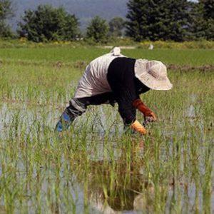 خمام - بیشاز ۹۵ درصد مزارع خمام وجین شد