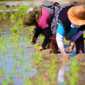 خمام - ۹۰ کشاورز بهدلیل عدم کشت برنج اخطار گرفتند